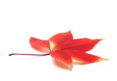 La enredadera de Virginia roja del otoño se va en el fondo blanco con la copia Foto de archivo libre de regalías