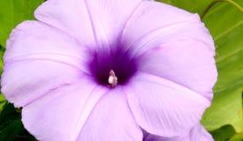 La enredadera florece púrpura pequeña, fina imágenes de archivo libres de regalías