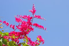 La enredadera mexicana, leptopus de Antigonon es la planta ornamental que es Foto de archivo