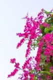 La enredadera mexicana, leptopus de Antigonon es la planta ornamental que es Imagenes de archivo