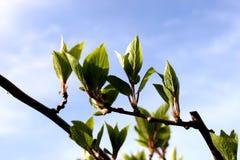 La enredadera, primavera temprana del árbol minúsculo, primera se va Fotografía de archivo