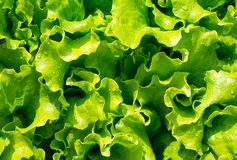 La ensalada fresca de las hojas se pone verde en el jardín del jardín Imagen de archivo libre de regalías