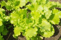 La ensalada verde fresca de la lechuga sale del primer Foto de archivo libre de regalías
