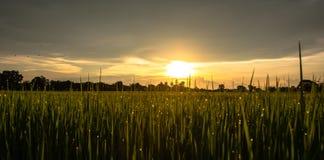 La escena del fondo de la puesta del sol con el cielo nublado sobre el arroz coloca fotografía de archivo