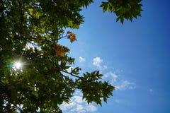 La escena del verano de las ramas verdes frescas naturales del follaje de las hojas de arce con el cielo azul claro y la estrella Imágenes de archivo libres de regalías