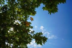 La escena del verano del follaje verde fresco natural de las hojas de arce ramifica con el cielo azul claro y el fondo brillante  Fotos de archivo
