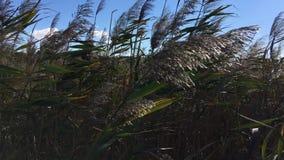La escena en el medio de un río denso recubre con caña en tiempo ventoso metrajes