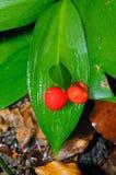 La escoba del carnicero (hypoglossum del Ruscus) fotos de archivo libres de regalías