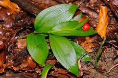 La escoba del carnicero (hypoglossum del Ruscus) foto de archivo