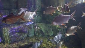 La escuela de las nadadas de los pescados cerca de la roca y los rayos de la luz se reflejan a través del agua almacen de video