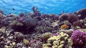 La escuela de pescados coloridos en el fondo del arrecife de coral ajardina bajo el agua almacen de video
