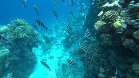 La escuela del sargento Indo-pacífico nada sobre el arrecife de coral, Mar Rojo, Egipto almacen de metraje de vídeo