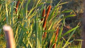 La espadaña alta le gusta la hierba con el tronco hueco que crece el agua cercana almacen de metraje de vídeo