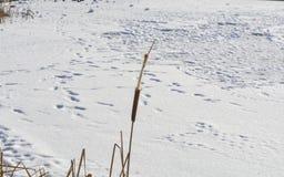 La espadaña del río Imagenes de archivo