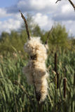 La espadaña madura en el pantano de turba Foto de archivo