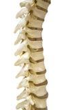 La espina dorsal Imagenes de archivo