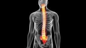 La espina dorsal humana