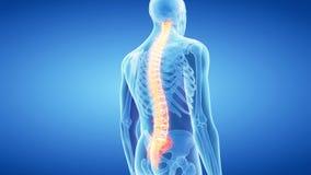 La espina dorsal humana libre illustration