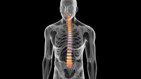 La espina dorsal humana ilustración del vector