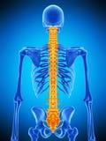 La espina dorsal humana Imagen de archivo