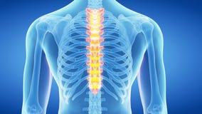 La espina dorsal torácica almacen de video