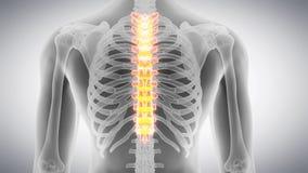 La espina dorsal torácica metrajes