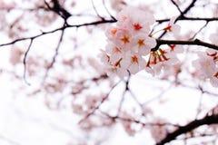 La estación de Sakura Fotografía de archivo libre de regalías