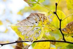 La estación del otoño cambia concepto Modelo texturizado esqueleto de la hoja del álamo temblón del envejecimiento Rama de árbol  Imagen de archivo