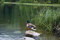 La estancia del pato salvaje pacífico en la roca y las esperas pacientemente para que su oportunidad coja un pescado fotos de archivo libres de regalías