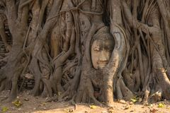 La estatua de la cabeza de Ayutthaya Buda con atrapado en el árbol de Bodhi arraiga en imagen de archivo libre de regalías