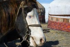 La estepa de ojos azules del caballo de Kazajistán. Imagen de archivo libre de regalías
