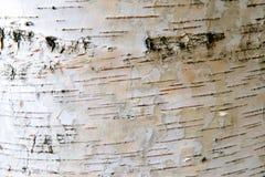 La estructura de la corteza blanca del abedul con las rayas negras Fotografía de archivo