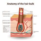 La estructura del bulbo en capa cruzada de la piel, bandera médica anatómica del pelo de la educación Ilustraci?n del vector ilustración del vector