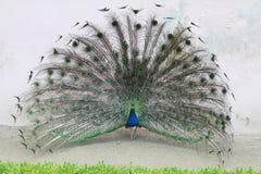 La exhibición de acoplamiento de un pavo real masculino fotos de archivo