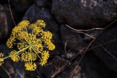 La explosión de la flor amarilla foto de archivo