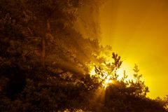 La explosión del sol raya el brillo a través de pino Imágenes de archivo libres de regalías