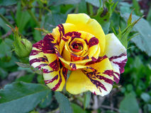 La fórmula de prestidigitador subió floreciendo en el jardín Foto de archivo libre de regalías