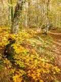 La Fageda d ` en的Jorda森林,能Blanc,西班牙 库存图片