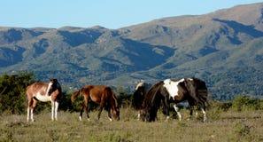 La Falda, Córdoba, Argentina. Horses in the Pampa de Olaen, La Falda, Cordoba, Argentina stock image