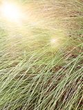 La falta de definición de la hierba alta con len efecto de la llamarada, fuera de imagen del foco Imagen de archivo
