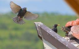 La famiglia degli starlings Fotografie Stock