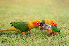 La famiglia degli uccelli del pappagallo di conuro di Sun Immagine Stock