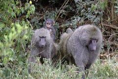 La famiglia dei babbuini con la guida del bambino sulle madri appoggia Immagine Stock Libera da Diritti