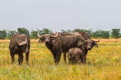 La famiglia dei bufali di Kafr nella steppa esamina il photogra Fotografia Stock Libera da Diritti