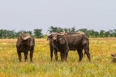 La famiglia dei bufali di Kafr nella steppa esamina il photogra Fotografia Stock