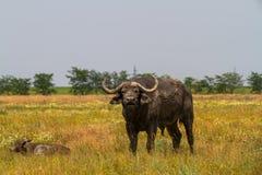 La famiglia dei bufali di Kafr nella steppa esamina il photogra Immagine Stock