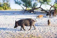 La famiglia dei maiali selvaggi cammina sulla costa della spiaggia del mare Fotografie Stock
