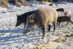 La famiglia dei maiali selvaggi cammina sulla costa di mare sabbiosa Fotografia Stock Libera da Diritti