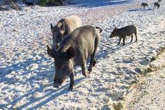 La famiglia dei maiali selvaggi cammina sulla costa sabbiosa della spiaggia del mare Immagini Stock
