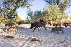 La famiglia dei maiali selvaggi cammina sulle sabbie costiere della spiaggia del mare Immagini Stock
